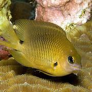 Threespot Damselfish inhabit reef tops in areas with algae in Tropical West Atlantic; picture taken Utila, Honduras.