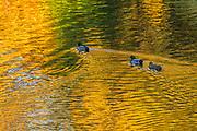 Three mallard ducks (Anas platyrhynchos) swim across the Sammamish River as it reflects the autumn colors in Bothell, Washington.