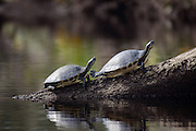 Suwannee River Cooters (Pseudemys concinna suwanniensis) sunning themselves on a log in Jonathan Dickinson State Park in Martin County, FL