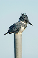 Belted Kingfisher (Ceryle alcyon), Point Holmes, Comox, Vancouver Island, Canada