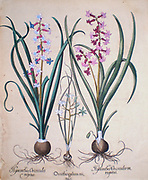 hand painted copperplate print of Hyacinth flowers From  Hortus Eystettensis, a codex produced by Basilius Besler in 1613 of the garden of the bishop of Eichstatt in Bavaria.