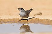 Eurasian Blackcap (Sylvia atricapilla) male near the water, negev desert, israel