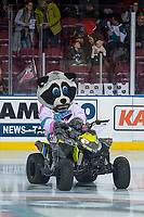 KELOWNA, CANADA - NOVEMBER 14: Rocky Raccoon rides his Polaris quad on the ice on November 14, 2017 at Prospera Place in Kelowna, British Columbia, Canada.  (Photo by Marissa Baecker/Shoot the Breeze)  *** Local Caption ***