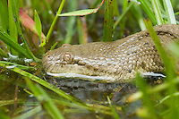 Dog-faced water snake or bockadam, Cerberus rynchops. An aquatic species, it spends most of its time partially or completely submerged in flooded rice paddies; this one was moved onto the grass to be photographed. Baucau district, Timor-Leste (East Timor).