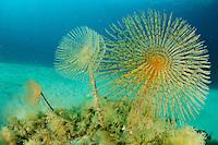Fan worm (Spirographis spallanzani), Gozo, Maltese Islands
