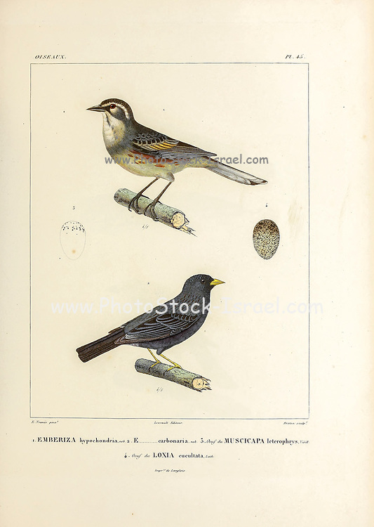 hand coloured sketch Top: rufous-sided warbling finch (Poospiza hypochondria [Here as Emberiza hypochondria]) Bottom: carbonated sierra finch (Phrygilus carbonarius [Here as Emberiza carbonaria]) From the book 'Voyage dans l'Amérique Méridionale' [Journey to South America: (Brazil, the eastern republic of Uruguay, the Argentine Republic, Patagonia, the republic of Chile, the republic of Bolivia, the republic of Peru), executed during the years 1826 - 1833] 4th volume Part 3 By: Orbigny, Alcide Dessalines d', d'Orbigny, 1802-1857; Montagne, Jean François Camille, 1784-1866; Martius, Karl Friedrich Philipp von, 1794-1868 Published Paris :Chez Pitois-Levrault et c.e ... ;1835-1847