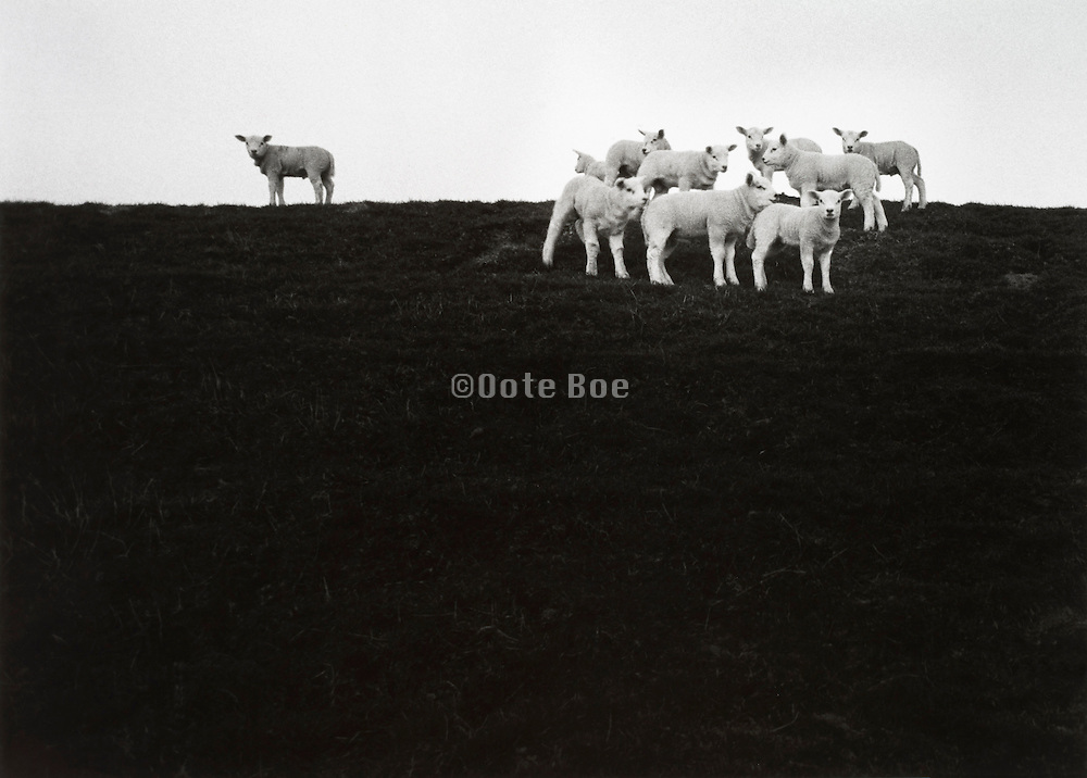 One sheep standing apart from the flock