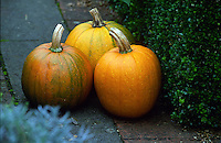 garden potager pumpkins ripening in a vegetable garden