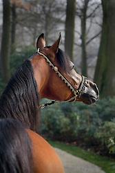 Arabian horse - QR Marc<br /> Jadem Arabians - Balen 2008<br /> Photo © Hippo Foto