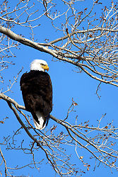 Bald Eagle, Dubois Wyoming, watching for trout in the Wind River Below.