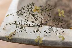 Hydrangea petiolaris flower heads brought in to dry