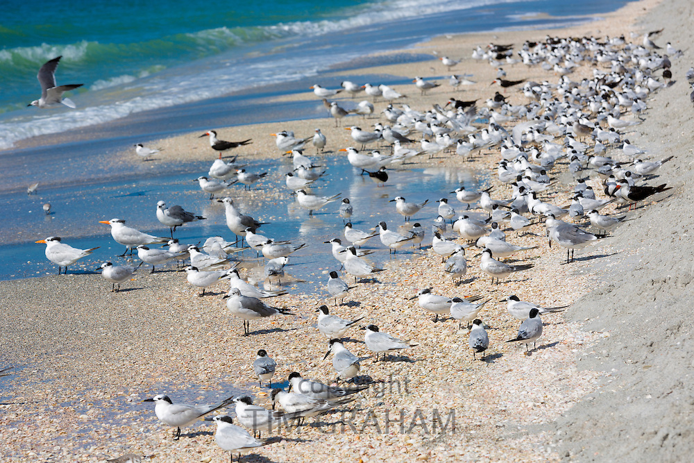 Shorebirds and Waders - Skimmers, Willets, Terns - on shoreline of the coast at Captiva Island, Florida, USA