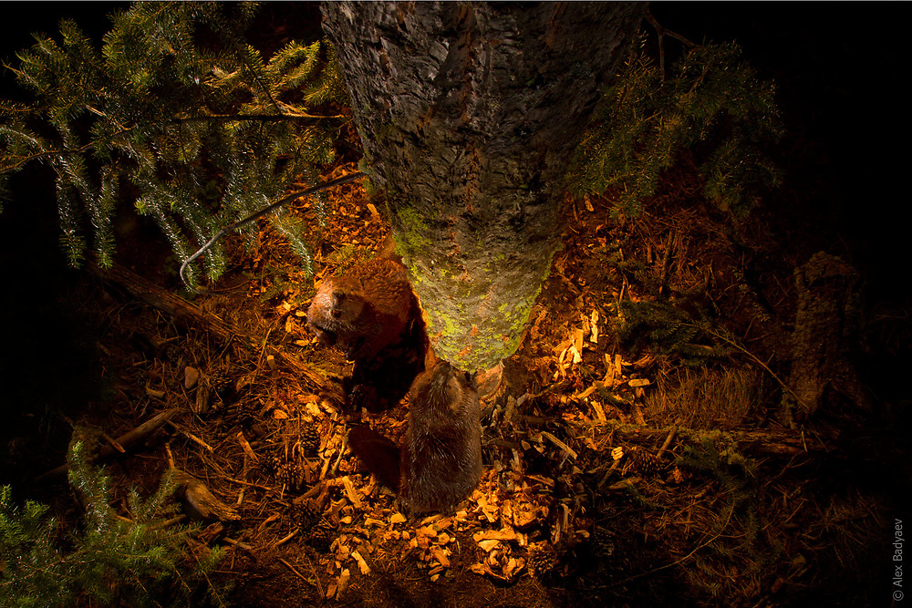 PERSPECTIVE ON REVENGE    Juvenile beavers master the art of directional tree felling by copying adults in the most advantageous approach to a tree and placement of the initial cut. Here, an adult female and her son from last year alternate in cutting a large Douglas fir near a forested lake in northern Montana in the United States. <br /> <br /> See Masters of Downfall  in PhotoStories