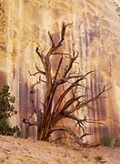 Gnarled juniper skeleton in Hackberry Canyon, Grand Staircase-Escalante National Monument, Utah.
