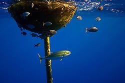 A lone yellowfin tuna, Thunnus albacares, using FAD (Fish Aggregation Device) as a shield to dodge relentless attacks by its predators, false killer whales, Pseudorca crassidens, note rake marks left by the whales, off Kohala Coast, Big Island, Hawaii, USA, Pacific Ocean