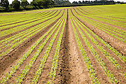 Crops growing in long lines in early summer, Sutton, Suffolk, England, UK