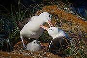 Preening Black-browed Albatross (Diomedea melanophris) with chick, North Nature Reserve, New Island, Falkland Islands