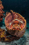 Red Scorpionfish (Scorpaenopsis sp.) in Barrel Sponge (Porifera)<br /> Cenderawasih Bay<br /> West Papua<br /> Indonesia