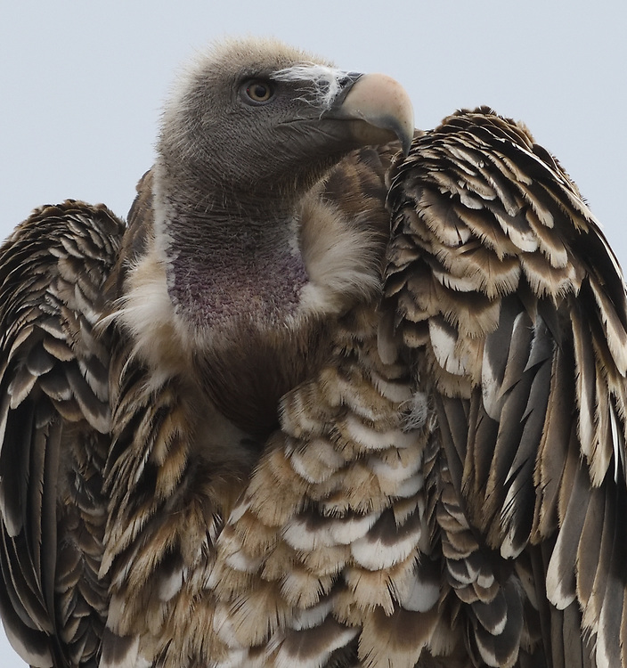 Close-up portrait of a Ruppell's vulture or Ruppell's griffon vulture (Gyps rueppelli) perching on a dead tree. Tarangire National Park, Tanzania.
