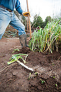 Gardener harvests leeks in the winter.