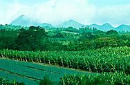 Bananas & Pineapples, Martinique