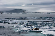 Atlantic Walrus<br /> (Odobenus rosmarus)<br /> Spitsbergen<br /> Svalbard<br /> Norway<br /> Arctic Ocean