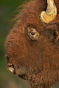 American Bison (Bos bison) Wichita Mountain Wildlife Refuge, Oklahoma, portrait, face, eyes, horn, hairy