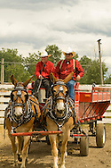 Teamster  with Belgian cross Mule (Mulus mula) team in driving class at Montana Mule Days in Drummond Montana