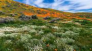 California Poppies (Eschscholzia californica), Antelope Valley, California USA