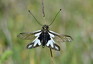 Owlfly - Ascalaphus lacteus