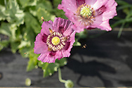Bees pollinating a purple poppy