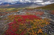 Red leaves of the alpine bearberry, mountain bearberry, or black bearberry, Arctostaphylos or Arctuo alpinus, View from Nuolja or Njulla mountain, Abisko National Park, Norrbotten, Lapland, Sweden