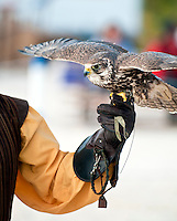 Falcon perched on handlers glove ready to fly.