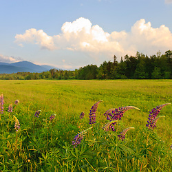 Lupine in the White Mountains. Jefferson, New Hampshire.