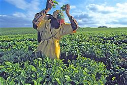 Tea Worker & Fields