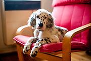 """English Setter Welpe """"Rudy"""" sitzt am 04.04.2017 auf einem bequemen Sessel.  Rudy wurde Anfang Januar 2017 geboren und ist gerade zu seiner neuen Familie umgezogen."""