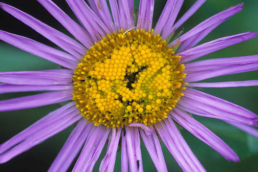 Wildflowers, Leafy Aster, (Aster folaiceus) Blooming in Bridger mountains. Southwest Montana.