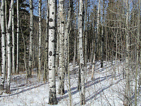 Aspen in the Snow   Photo: Peter Llewellyn