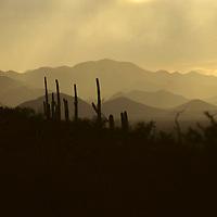 USA, Arizona, Tucson. Saguaro National Park (East).
