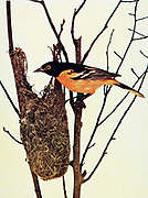 The Baltimore oriole (Icterus galbula) is a small icterid blackbird common in eastern North America as a migratory breeding bird. It received its name from the resemblance of the male's colors to those on the coat-of-arms of Lord Baltimore. Observations of interbreeding between the Baltimore oriole and the western Bullock's oriole, Icterus bullockii, led to both being classified as a single species, called the northern oriole, From Birds : illustrated by color photography : a monthly serial. Knowledge of Bird-life Vol 1 No 1 June 1897