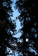 Peter Jenkins climbs between two redwoods near Springville, California.
