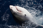 tiger shark ( Galeocerdo cuvier ) lunging for bait, with parasitic leech attached to right side of head, North Shore, Oahu, Hawaii, USA ( Central Pacific Ocean )