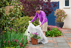 Protecting a container of tender plants from late frosts with horticultural  fleece