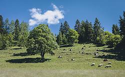 THEMENBILD - eine Schafherde grast auf einer Bergwiese. Bäume werfen einen Schatten, aufgenommen am 13. Juni 2020 in Goldegg, Oesterreich // a flock of sheep grazes in a mountain meadow. Trees cast a shadow, Austria on 2020/06/13. EXPA Pictures © 2020, PhotoCredit: EXPA/Stefanie Oberhauser