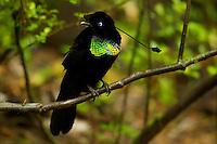 Wahnes' Parotia (Parotia wahnesi).Adult male on perch over his court.
