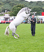 15/08/2013 Tony Kelly from Athy with Frederiksminde Fine Edition a young Stallion at the 90th Connemara Pony show in Clifden Co. Galway. Photo:Andrew Downes