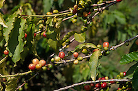 Yemen, le Djebel Haraz, culture du café. // Yemen, Djebel Haraz, coffee berries.