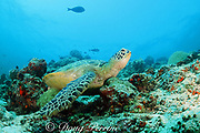 green sea turtle, Chelonia mydas, rubs its neck & plastron against some coral heads, possibly to remove barnacles, or just to relieve an itch, Sipadan Island, off Borneo, Sabah, Malaysia ( Celebes Sea / Western Pacific Ocean )