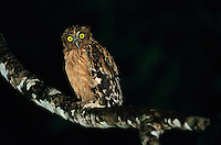 A buffy fish owl perched on a lichen-covered tree branch at night..Kinabatangan Wildlife Sanctuary, Borneo Island.