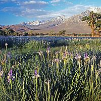 Wild iris and cottonwood trees grow near Bishop in the Owens Valley below California's eastern Sierra Nevada.